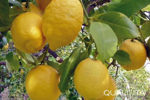 Limone Femminello del Gargano IGP foto-1