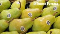 Pera dell'Emilia Romagna IGP, via alla sagra per superare il crollo del raccolto