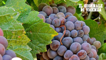 Consorzio Vini Venezia: la produzione del 2019 segna +102%