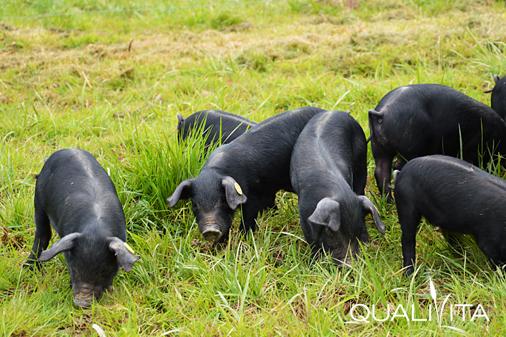 Porc Noir de Bigorre DOP foto-1