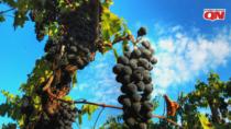Biodistretti in Toscana, regione leader del vino biologico