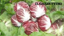 Scatta la raccolta del Radicchio di Chioggia IGP fra le incognite prezzo e viabilità