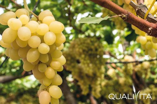 Uva da Tavola di Canicattì IGP foto-1