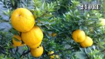 Bergamotto di Reggio Calabria - Olio essenziale DOP, un nuovo polo produttivo