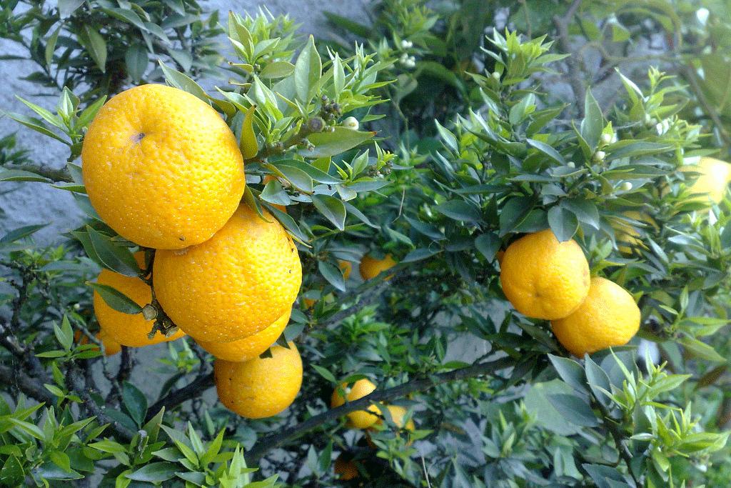 Bergamotto di Reggio Calabria – Olio Essenziale DOP foto-2
