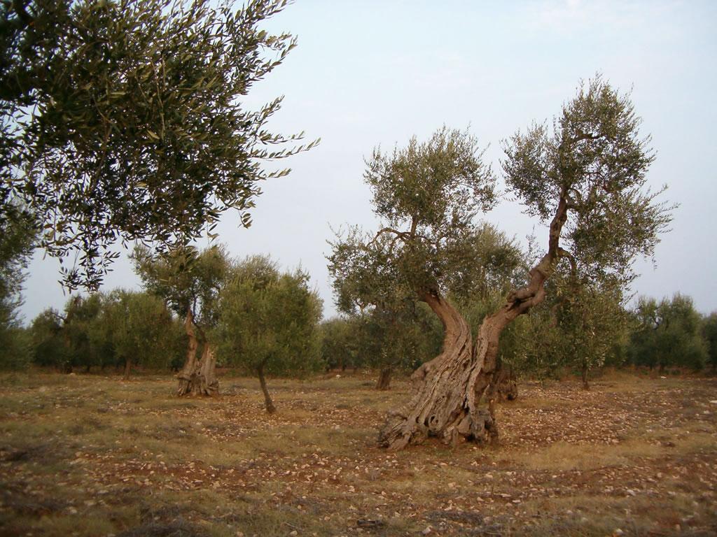 Terra di Bari DOP – Olio EVO foto-4