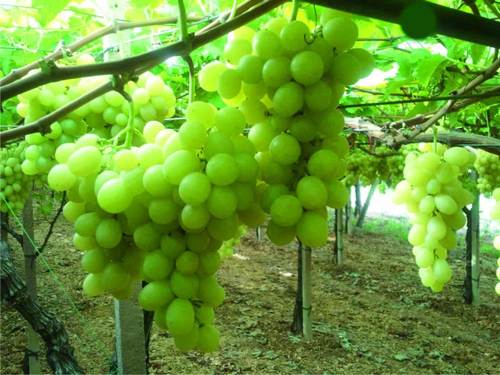 Uva di Puglia IGP foto-4