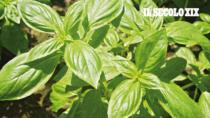 Basilico Genovese DOP, il Consorzio interviene a tutela dei veri produttori a denominazione