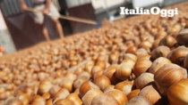 La cimice che falcidia i frutti: gravi danni per le nocciole IGP