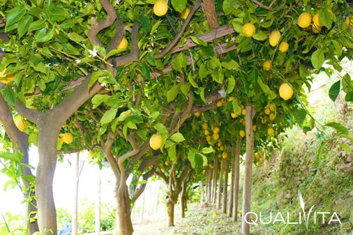 Liquore di Limone della Costa d'Amalfi IG foto-1