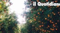 Il rilancio delle Clementine del Golfo di Taranto IGP