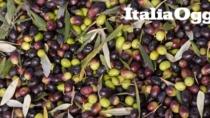 Seggiano DOP: il 40 per cento di olive in meno