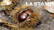 Prima riscossa delle castagne dal terribile insetto