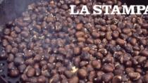 Un insetto dalla Cina rischia di far scomparire la caldarrosta italiana