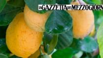 Mitici «femminelli» e arance di lusso