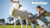 I francesi adorano i formaggi di capra DOP, ma il latte manca