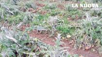 Maltempo, Carciofo Spinoso di Sardegna DOP: danni per 10 milioni di euro