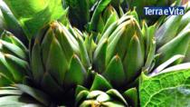 La siccità mette a rischio il raccolto del Corciofo Spinoso di Sardegna DOP