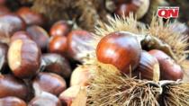 Castagne: produzione in pericolo. Dopo il cinipide, spunta il fungo