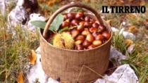 Farina di Neccio della Garfagnana DOP: dopo il cinipide, è allarme cinghiali e importazioni