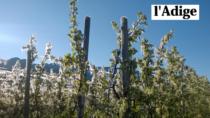 Ortofrutta, Mela Val di Non: gravi ripercussioni dalle gelate di aprile