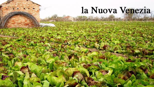 Radicchio di Chioggia IGP: coltura in sofferenza