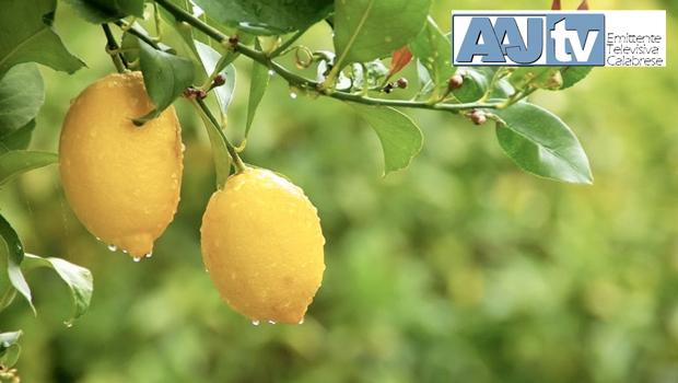 Consorzio Limone di Rocca Imperiale IGP, formazione per il mercato digitale
