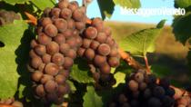 Pinot grigio in Friuli la produzione sale fra +8 e il 15%
