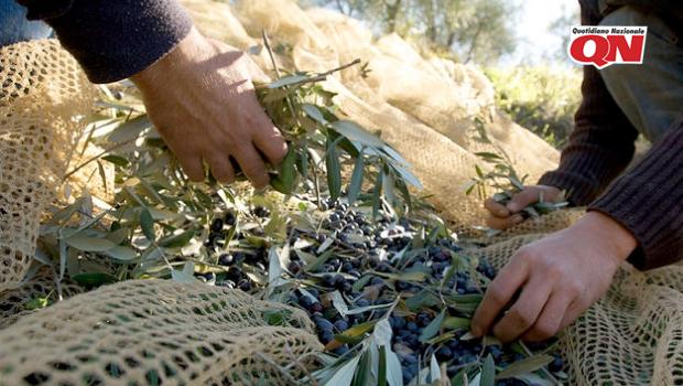 Toscana: Olio extravergine di oliva DOP IGP, al via la selezione 2019