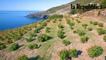 Il Passito di Pantelleria DOP è a secco e ora è allarme imitazioni
