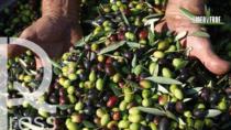 Rai 1 Linea Verde - L'oro verde DOP e IGP della Toscana