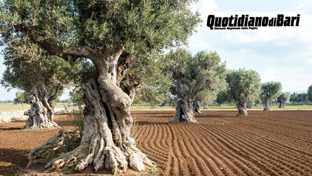 Unaprol, il 40% della tracciabilità olivicola parla pugliese