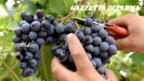 Vini Colli di Parma DOP: vendemmia ottima e abbondante