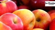 Inizia il tempo delle mele. Via alla raccolta in Valle