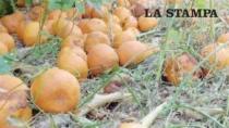 Puglia, rivolta degli agricoltori e gli agrumi marciscono sugli alberi