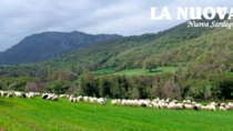Ovini di Sardegna IGP: in forte aumento i capi certificati