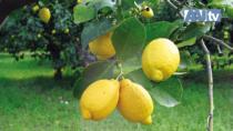 Si rinnova il Consorzio di Tutela del Limone di Rocca Imperiale IGP