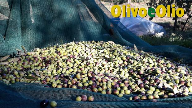 Olio di Puglia IGP, competitività: l