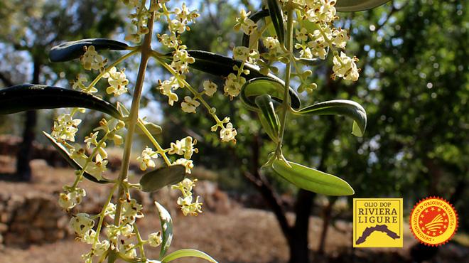 Olio Riviera Ligure DOP, la fioritura degli olivi in Liguria: si prepara l