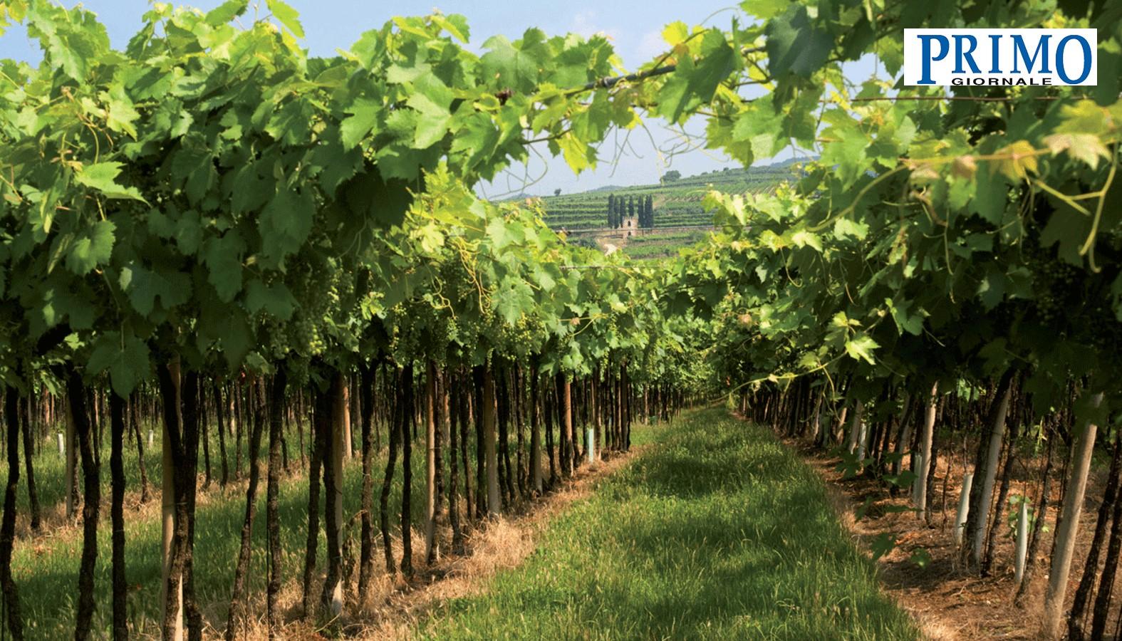 Arcole DOP, ecco il piano per valorizzare il Pinot Grigio