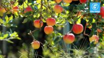 Mele del Trentino IGP: «riconoscimento al lavoro di un territorio e di un prodotto che lo qualifica»