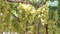 Uva da Tavola di Canicattì IGP, chiude la campagna produttiva mentre prosegue la tendenza verso le apirene