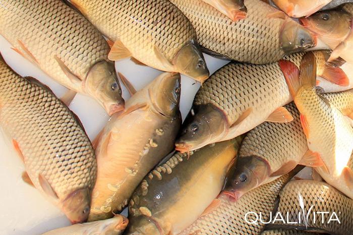 Akasztói Szikiponty DOP foto-1
