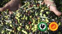 Chianti Classico DOP - Olio EVO, la raccolta 2020: 20 anni di DOP da festeggiare