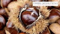 Castagne, in Campania il Marrone di Roccadaspide IGP batte il flagello del cinipide