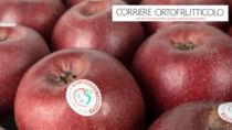 Melannurca Campana IGP, la piccola mela del sud che va a ruba al nord
