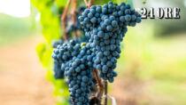 Un vino bulgaro minaccia il Bolgheri Sassicaia DOP: ricorso alla UE