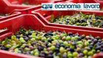 Olio Toscano IGP, stagione a cinque stelle: investimenti massicci, pubblici e privati