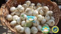 Parte la raccolta della Cipolla Bianca di Margherita IGP