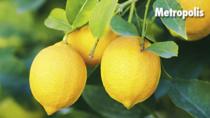 Il Limone Costa d'Amalfi IGP e il Limone di Sorrento IGP protagonisti di produzioni di eccellenza